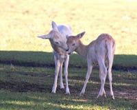Doe & Fawn Fallow Deer Arkivfoton