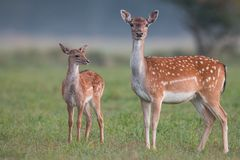 Doe and fawn fallow deer, dama dama, in autumn colors