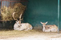 DOE with fawn at feeders with hay,Safari Park Taigan, Crimea. Royalty Free Stock Images
