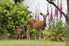 Doe, Fawn, and Foxgloves. A doe and her fawn stand by blooming pink and white foxgloves Stock Image