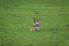 Doe and Fawn Stock Photography