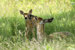 Doe and Fawn - A Mother's Love. Touching springtime scene of a doe and her fawn taken at Big Meadow, Shenandoah National Park in Virginia in horizontal format Stock Photos