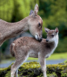 Deer and Fawn Royalty Free Stock Photography