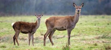 Doe and fawn Stock Photo