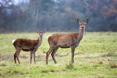 Doe and fawn Royalty Free Stock Images