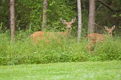 Doe and Fawn wildlife Stock Photo