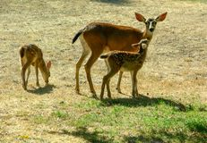 Black Tailed Doe and Fawns royalty free stock image