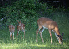Doe and Fawns Stock Photos