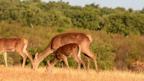 Doe with fawns stock video footage