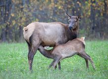 Elk Feeding Calf Stock Photos