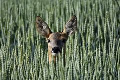 Doe in a field Royalty Free Stock Photos