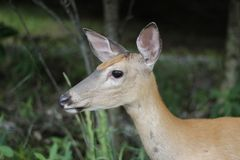 Doe in the fields. Wild deer in the forest Royalty Free Stock Image