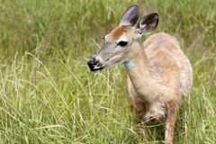 Doe in the fields. Wild deer in high grass Royalty Free Stock Photos