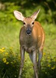 Doe with flies Royalty Free Stock Images