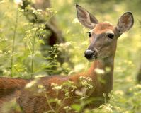 Doe With Flowers Royalty Free Stock Photos