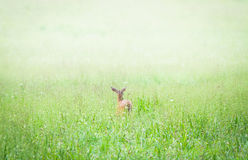 Doe in a Foggy Green Meadow. In summertime Royalty Free Stock Image