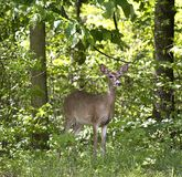 Doe in the forest. Whitetailed doe on the edge of a forest stock image