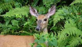 Doe in the Forest Royalty Free Stock Photo