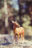 Doe in forest. Deer toy figurine in situation. Royalty Free Stock Images