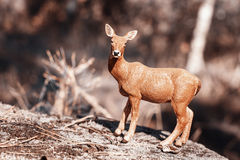 Doe in forest. Deer toy figurine in situation. Stock Photo