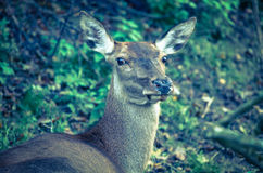 Doe Royalty Free Stock Image
