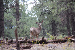 Doe in Forest South of Williams AZ Royalty Free Stock Photos