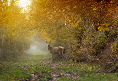 Doe in forest Royalty Free Stock Images