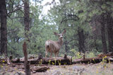 Doe in forest. Doe standing in Kaibab National forest Royalty Free Stock Photos