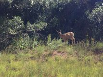 Doe. At garden of the gods in Colorado springs Royalty Free Stock Photography