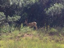 Doe. At garden of the gods in Colorado springs Royalty Free Stock Image