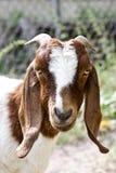 Doe goat Royalty Free Stock Images