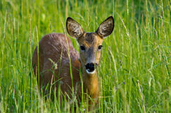 Doe in grass Royalty Free Stock Photography