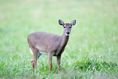 Doe in the grass Royalty Free Stock Photos