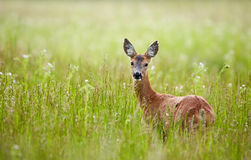 Doe in a grass field Royalty Free Stock Photo