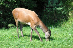 Doe grazing on Stock Images