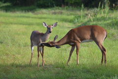 Doe grooming her fawn Royalty Free Stock Image