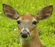 Doe Head Shot. Head shot of a whitetail deer doe Royalty Free Stock Photography