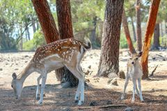 A doe and her baby fawn. In a pine forest royalty free stock photography