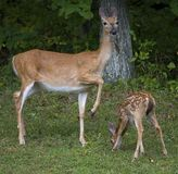 Doe and her fawn Stock Images