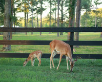 Doe and her Fawn. Berry College in Rome, GA, USA Stock Photos
