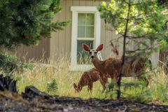 Doe and her fawn. Deer grazing among rural homes at Lake Almanor Stock Photo