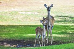 Three deer getting a drink in the shade stock images