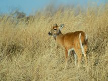 Doe in high grass Royalty Free Stock Photo