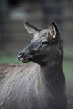Doe/hind. Close-up portrait of a doe/hind Stock Photos