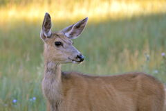 Doe, hind, in the grass. Hind up in the grass, Yosemite, the United States Royalty Free Stock Photo