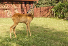 Doe at the house gamekeeper Royalty Free Stock Images