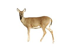 Doe isolated. A isolated picture of a doe deer on white background stock images
