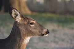 doe jeleniej śledzić white Zdjęcie Stock
