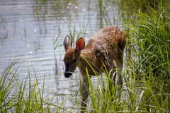 Doe by the lake Royalty Free Stock Image
