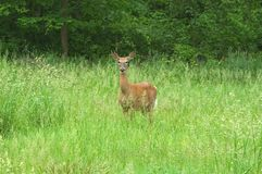 Doe in Meadow. A lone Doe standing in a meadow in the Cleveland Metroparks System Stock Photos